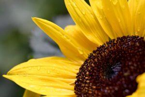 sunflower-5266745_1920