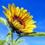 sunflower-1536088_1920