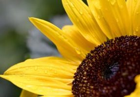 sunflower-5266745_1920